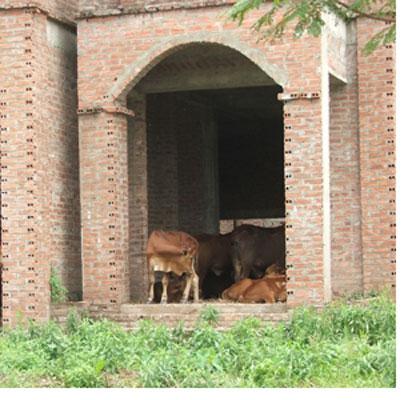 Giữa Thủ đô, biệt thự triệu đô xây cho... bò ở