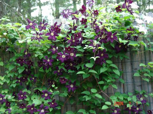 Hoa leo – điểm nhấn rực rỡ cho ngôi nhà của bạn