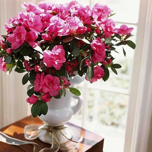 Tô điểm cho nhà bằng cây hoa Giáng sinh