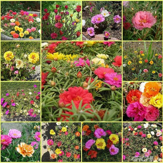 Góc nhà rực rỡ với hoa mười giờ
