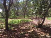 Bán vườn điều đất đỏ bằng mặt tiền đường lớn giá chỉ 550tr/ha