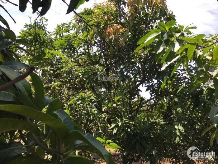 Cần Bán Mảnh Vườn Xoài 4000m2 Có 300m2 Thổ Cư lh Quang 0906891486
