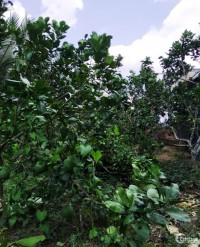 Bán gấp hơn 2 công vườn bưởi đang say trái Nhơn Thạnh-TP Bến Tre