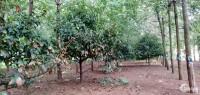 Bán đất vườn thổ cư Trung tâm Đức Phong