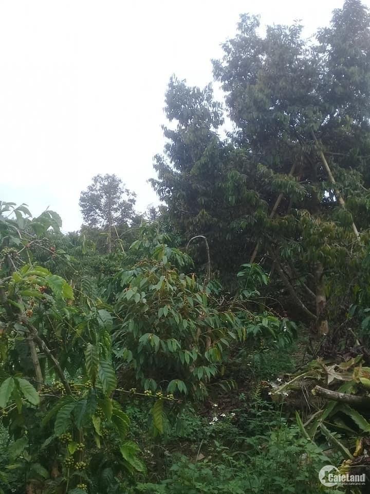 Cần bán gấp Vườn cây ăn trái ( Sầu riêng, chôm chôm, quýt .. ) xen cà phê