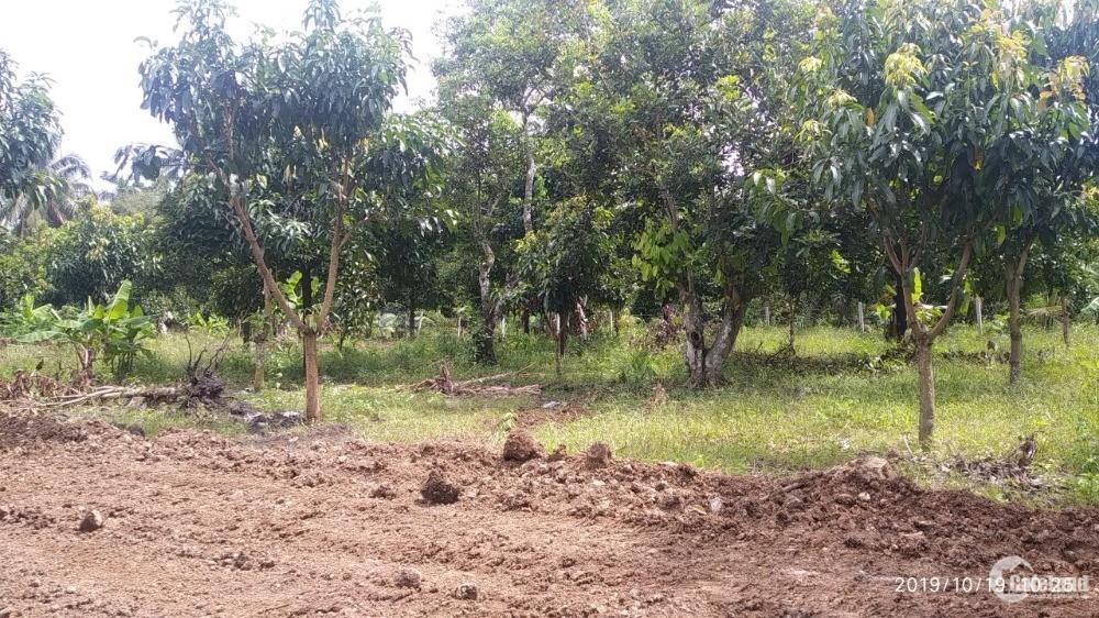 Bán đất chính chủ trồng cây măng cụt xã Hưng Lộc huyện Thống Nhất
