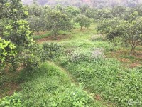 Bán gấp 7ha cam đang kì thu hoạch, tại Lương Sơn, Hòa Bình.