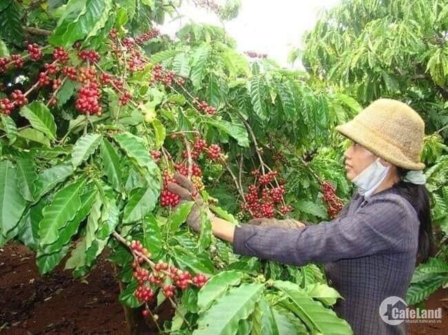 Cần San Nhượng Dự Án 34ha Cây Lâu Năm - Cây Ăn Trái Huyện Đam Rông Giá 18,5 tỷ