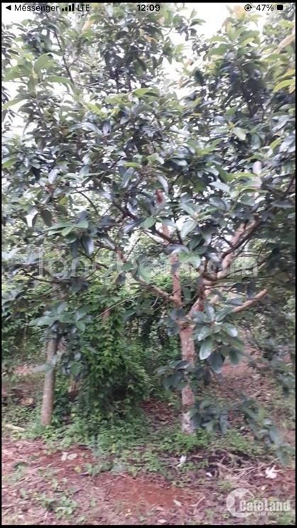 Bán vườn trái cây 4000m2 ở Bảo Bình có nhà C4