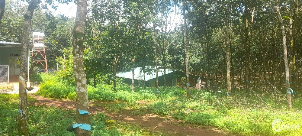 1,5 ha đất trồng cao su có nhà ở giá rẻ tại Đắk nông giá chỉ 1.6 tỷ.