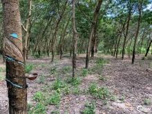 Bán Vườn Cao Su Gần Khu Du Lịch Suối Nước Nóng Bình Châu
