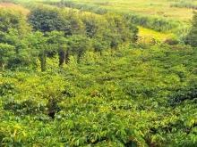 Sang 10ha đồi sình, đầy đủ cây công nghiệp, điện bơm tưới Thuận Hà Đắk Song