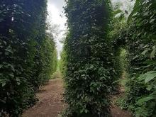 Đất vườn khi vực Bù đốp kô đâu rẻ hơn