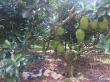 Nhà neo đơn cần bán 7.888m2 đất trồng cây ăn trái