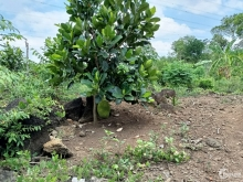 Cần tiền bán gấp vườn trái cây tại sông trầu