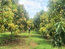 Cần bán vườn xoài, mít mặt tiền đường, có sẵn 100m2 thổ cư và nhà cấp 4.